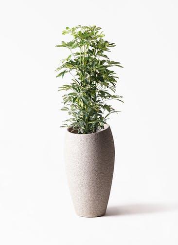 観葉植物 カポック(シェフレラ) 8号 斑入り エコストーントールタイプ Light Gray 付き