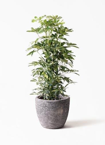 観葉植物 カポック(シェフレラ) 8号 斑入り アビスソニアミドル 灰 付き