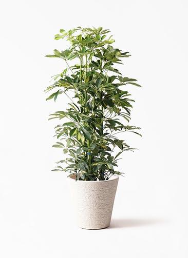 観葉植物 カポック(シェフレラ) 8号 斑入り ビアスソリッド 白 付き