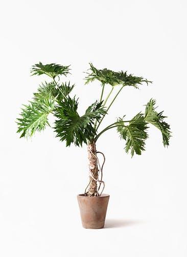 観葉植物 セローム ヒトデカズラ 8号 根あがり ルーガ アンティコ ソリッド 付き