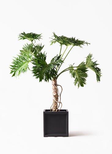 観葉植物 セローム ヒトデカズラ 8号 根あがり ブリティッシュキューブ 付き