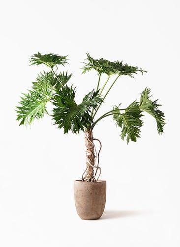 観葉植物 セローム ヒトデカズラ 8号 根あがり ルーガ アンティコ アルトエッグ 付き