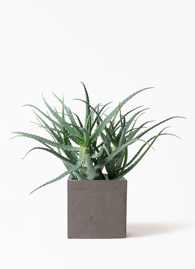 観葉植物 キダチアロエ 8号コンカー キューブ 灰 付き