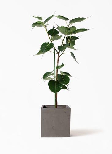 観葉植物 インドボダイジュ 8号 コンカー キューブ  灰 付き