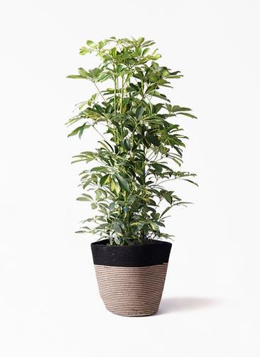 観葉植物 カポック(シェフレラ) 8号 斑入り リブバスケットNatural and Black 付き