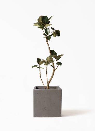観葉植物 フィカス バーガンディ 8号 曲り コンカー キューブ  灰 付き