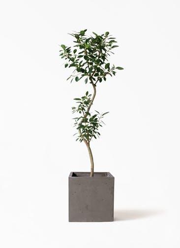 観葉植物 フランスゴムの木 8号 曲り コンカー キューブ  灰 付き