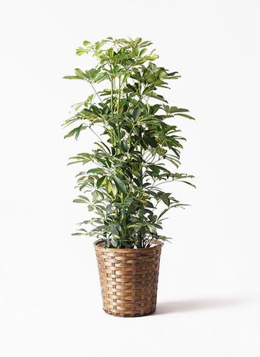 観葉植物 カポック(シェフレラ) 8号 斑入り 竹バスケット 付き