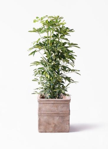 観葉植物 カポック(シェフレラ) 8号 斑入り テラアストラ カペラキュビ 赤茶色 付き