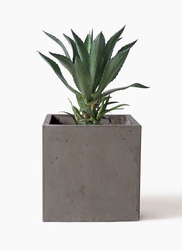 観葉植物 アガベ 8号 アメリカーナ コンカー キューブ  灰 付き