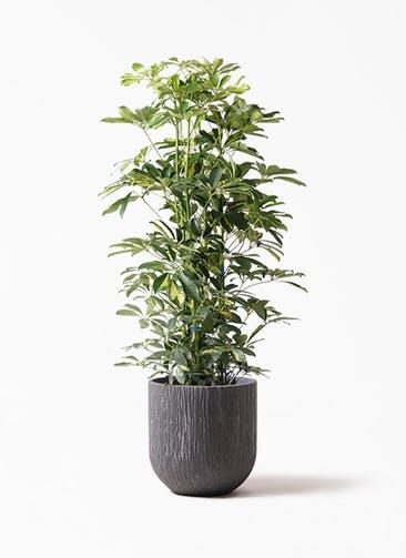観葉植物 カポック(シェフレラ) 8号 斑入り カルディナダークグレイ 付き