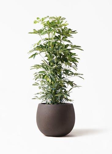 観葉植物 カポック(シェフレラ) 8号 斑入り テラニアス ローバルーン アンティークブラウン 付き