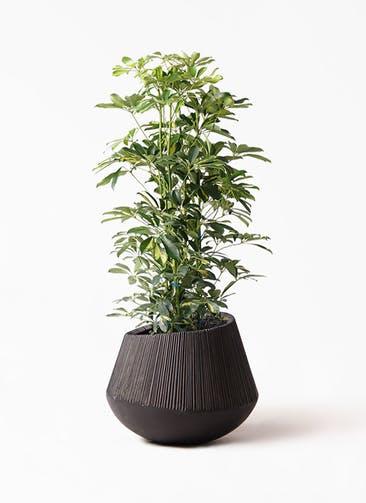 観葉植物 カポック(シェフレラ) 8号 斑入り エディラウンド 黒 付き