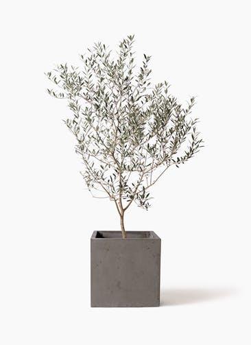 観葉植物 オリーブの木 8号 カヨンヌ コンカー キューブ  灰 付き