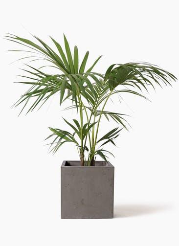 観葉植物 ケンチャヤシ 8号 コンカー キューブ  灰 付き
