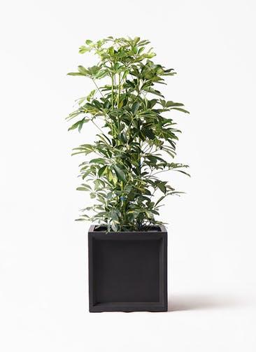 観葉植物 カポック(シェフレラ) 8号 斑入り ブリティッシュキューブ 付き