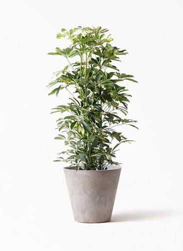 観葉植物 カポック(シェフレラ) 8号 斑入り アートストーン ラウンド グレー 付き