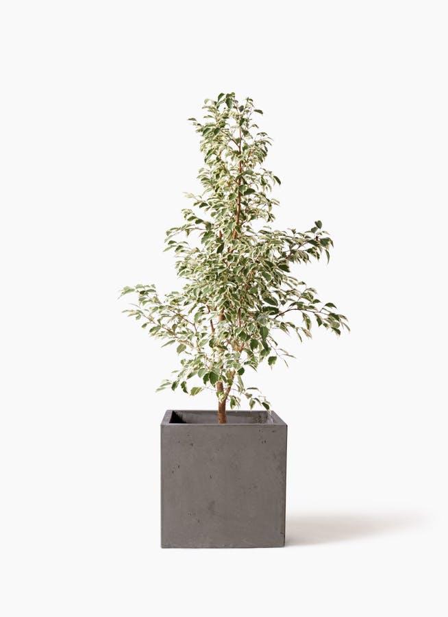観葉植物 フィカス ベンジャミン 8号 スターライト コンカー キューブ 灰 付き