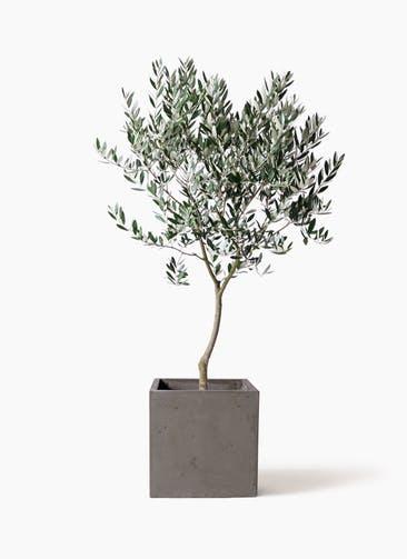 観葉植物 オリーブの木 8号 創樹 コンカー キューブ 灰 付き