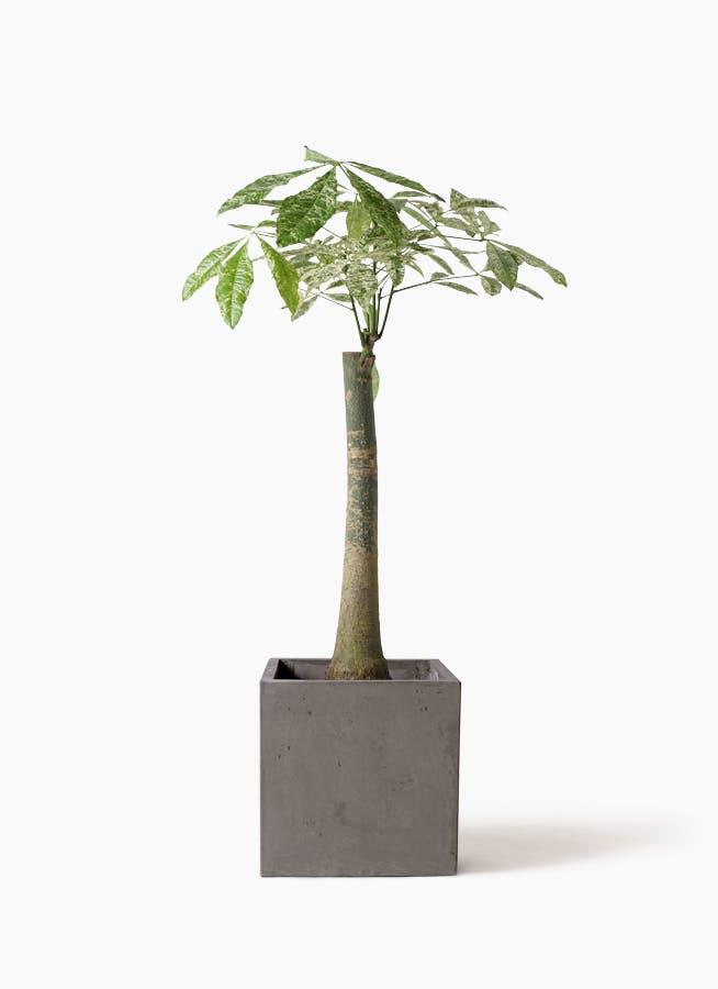 観葉植物 パキラ 8号 朴 斑入り コンカー キューブ 灰 付き