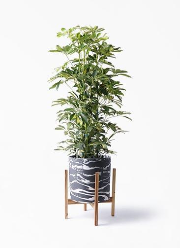 観葉植物 カポック(シェフレラ) 8号 斑入り ホルスト シリンダー マーブル ウッドポットスタンド付き