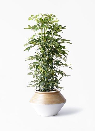 観葉植物 カポック(シェフレラ) 8号 斑入り アルマジャー 白 付き