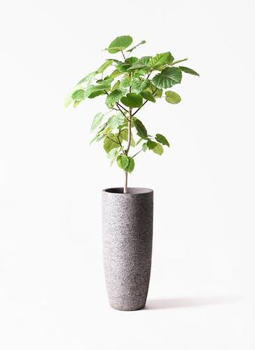 観葉植物 フィカス ウンベラータ 8号 ノーマル エコストーントールタイプ Gray 付き