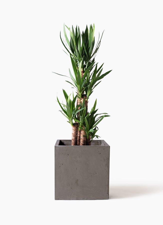 観葉植物 ユッカ 8号 ノーマル コンカー キューブ 灰 付き