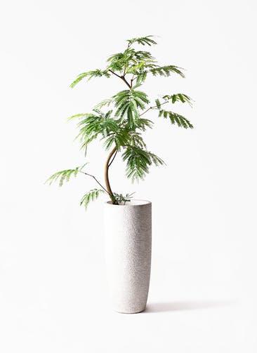観葉植物 エバーフレッシュ 8号 曲り エコストーントールタイプ white 付き