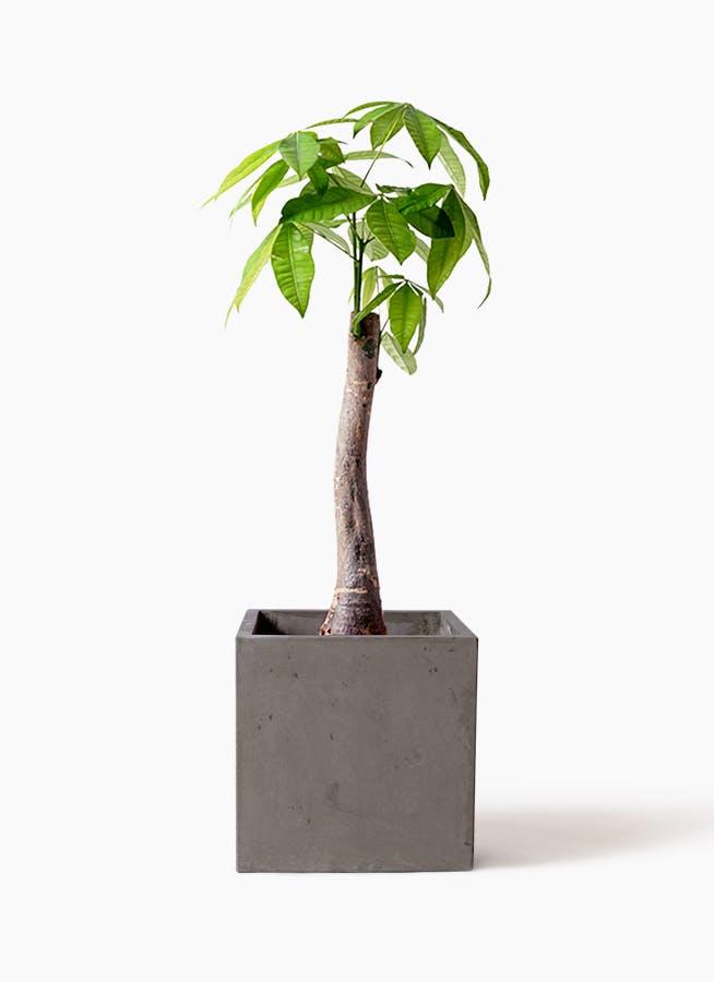 観葉植物 パキラ 8号 朴 コンカー キューブ 灰 付き