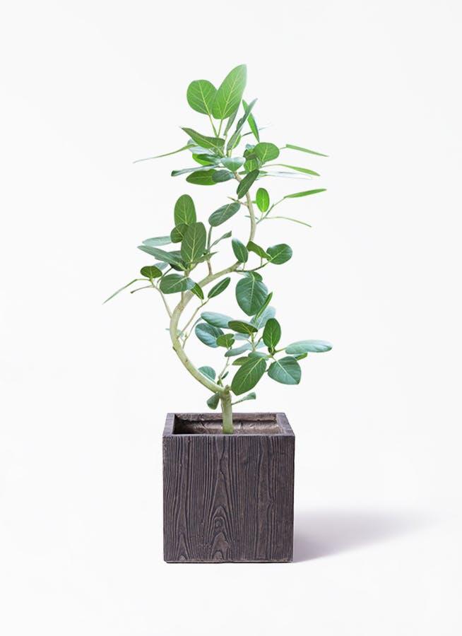 観葉植物 フィカス ベンガレンシス 8号 曲り ベータ キューブプランター ウッド 茶 付き