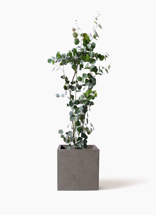 観葉植物 ユーカリ 8号 ポリアンセモス コンカー キューブ 灰 付き