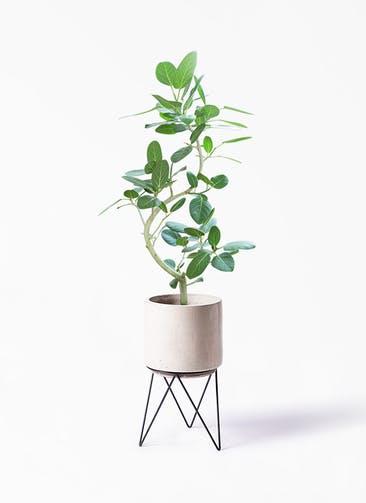 観葉植物 フィカス ベンガレンシス 8号 曲り ビトロ エンデカ クリーム アイアンポットスタンド ブラック 付き