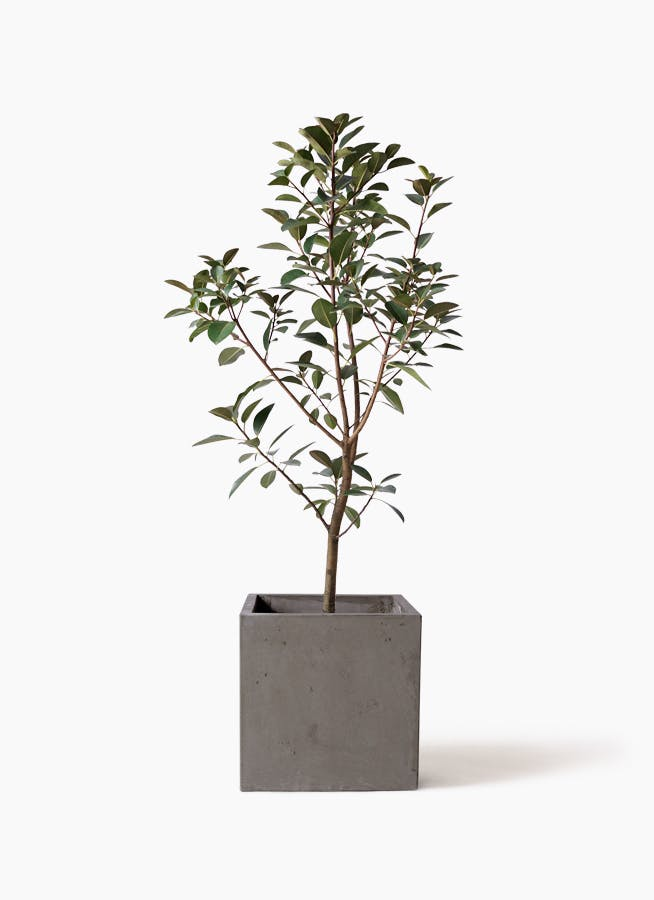 観葉植物 フランスゴムの木 8号 ノーマル コンカー キューブ  灰 付き