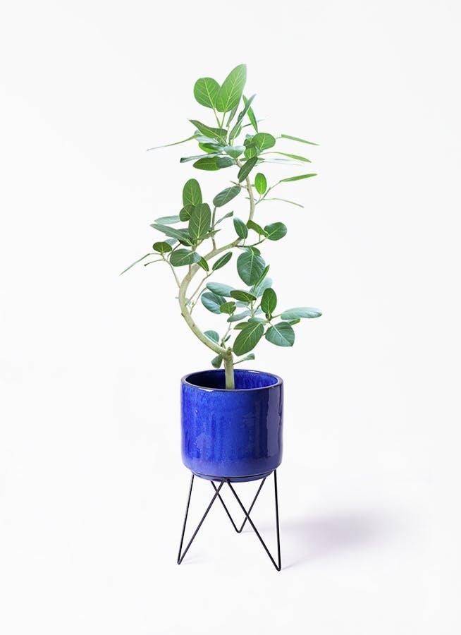 観葉植物 フィカス ベンガレンシス 8号 曲り ビトロ エンデカ ブルー アイアンポットスタンド ブラック 付き