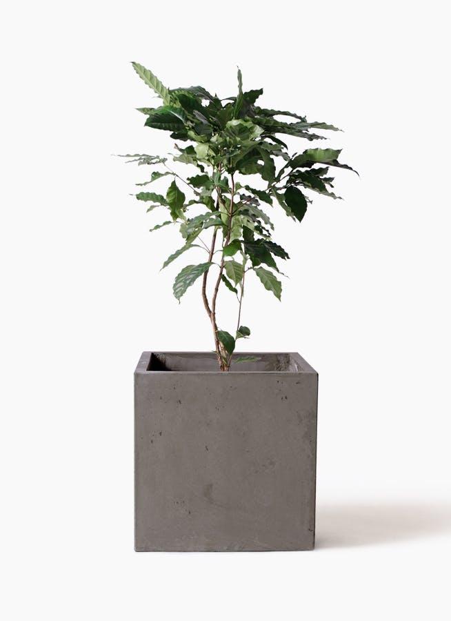 観葉植物 コーヒーの木 8号 コンカー キューブ 灰 付き