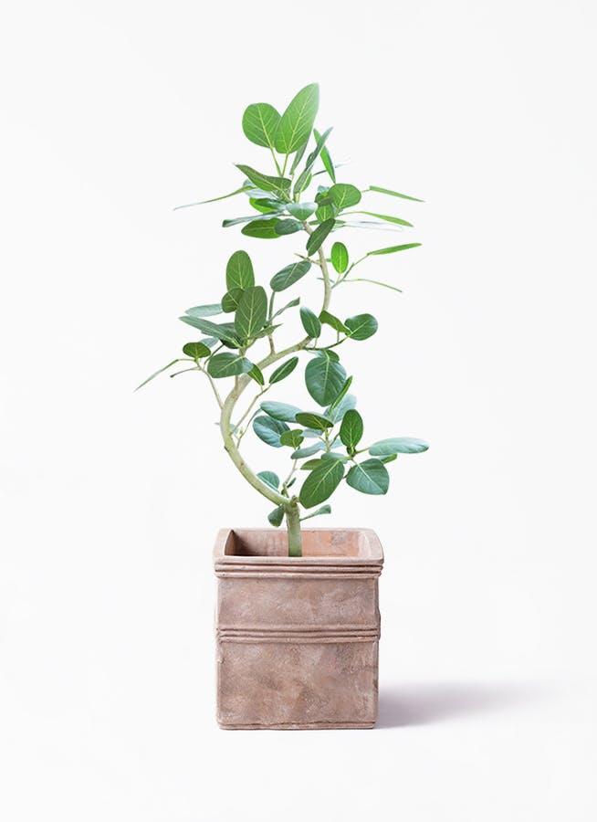 観葉植物 フィカス ベンガレンシス 8号 曲り テラアストラ カペラキュビ 赤茶色 付き