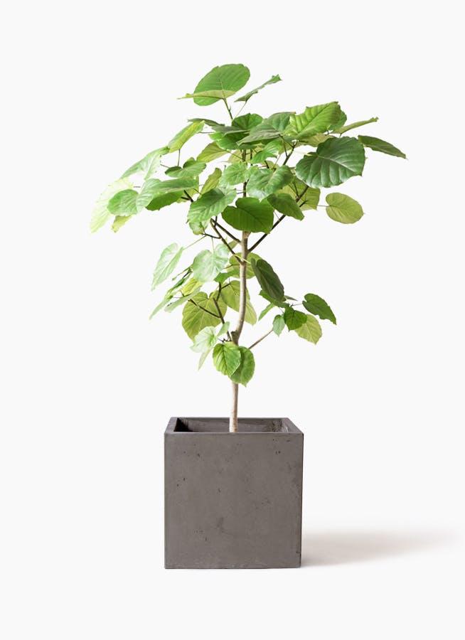 観葉植物 フィカス ウンベラータ 8号 ノーマル コンカー キューブ 灰 付き