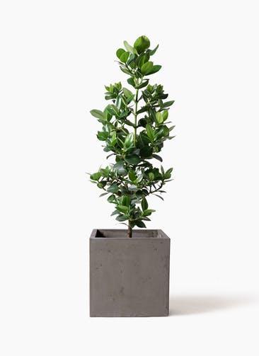 観葉植物 クルシア ロゼア プリンセス 8号 コンカー キューブ 灰 付き