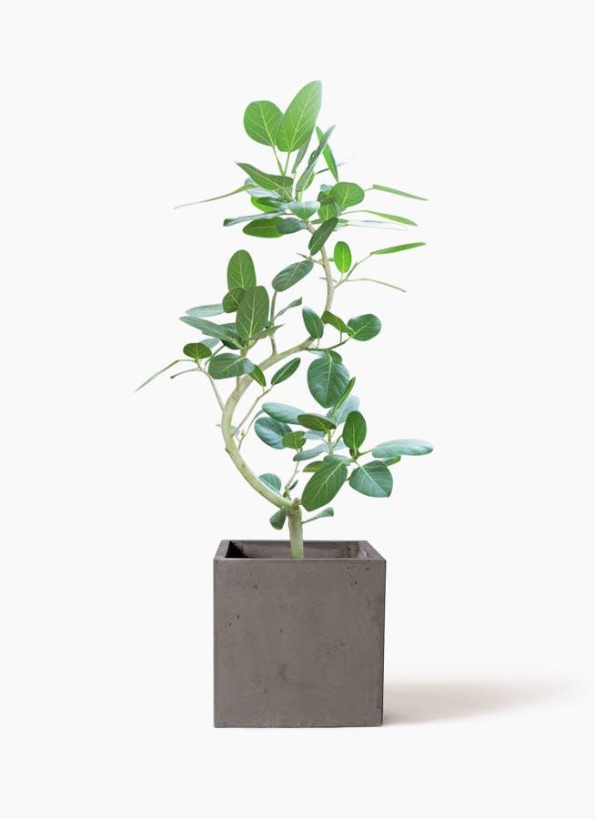 観葉植物 フィカス ベンガレンシス 8号 曲り コンカー キューブ 灰 付き