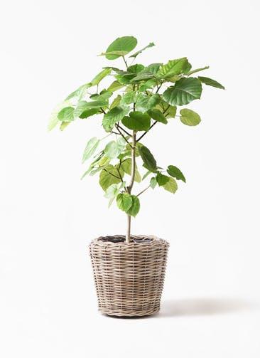 観葉植物 フィカス ウンベラータ 8号 ノーマル モンデリック ラタン 付き