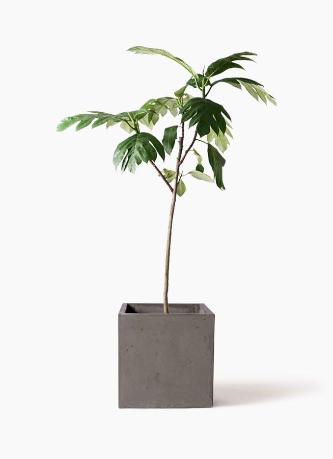 観葉植物 パンノキ 8号 コンカー キューブ 灰 付き