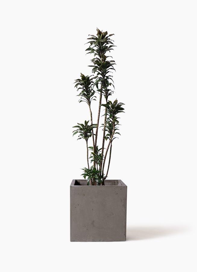 観葉植物 ドラセナ パープルコンパクタ 8号 コンカー キューブ 灰 付き