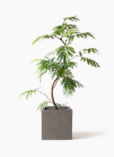 観葉植物 エバーフレッシュ 8号 曲り コンカー キューブ 灰 付き