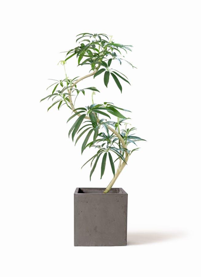 観葉植物 シェフレラ アンガスティフォリア 8号 曲り コンカー キューブ 灰 付き