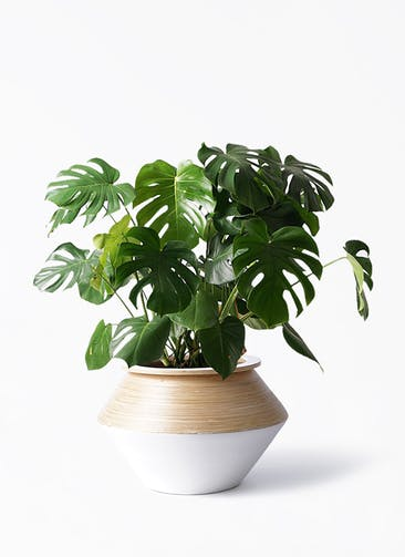 観葉植物 モンステラ 8号 ボサ造り アルマジャー 白 付き
