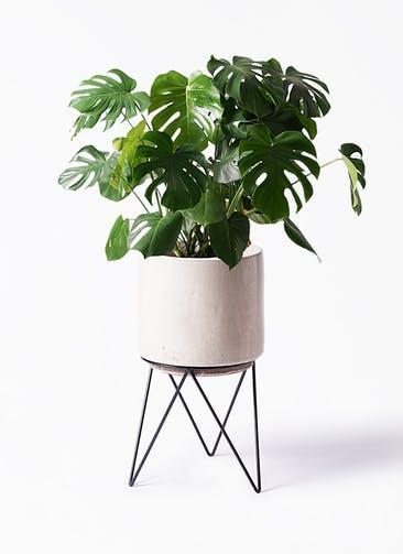観葉植物 モンステラ 8号 ボサ造り ビトロ エンデカ クリーム アイアンポットスタンド ブラック 付き