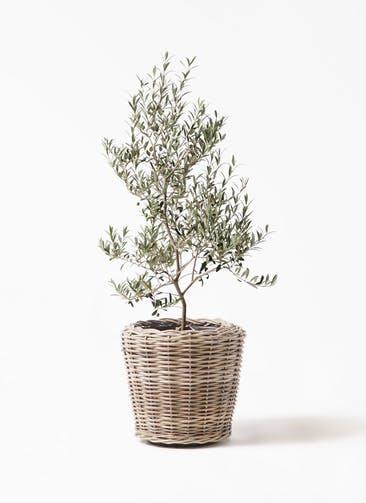 観葉植物 オリーブの木 8号 アルベキーナ モンデリック ラタン 付き
