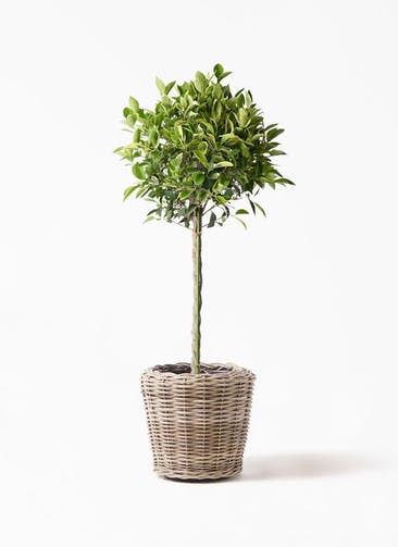 観葉植物 フィカス ベンジャミン 8号 ゴールデンスポット モンデリック ラタン 付き