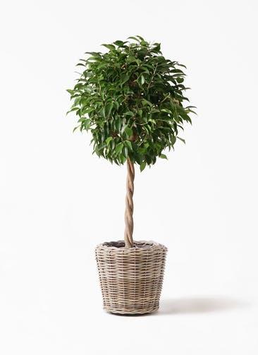 観葉植物 フィカス ベンジャミン 8号 玉造り モンデリック ラタン 付き